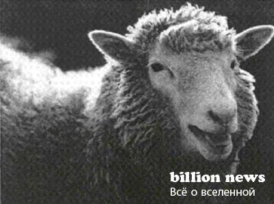 Отличается от диких курчавой шерстью и более длинным висячим хвостом.  Наша овца вполне рождена...